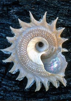 25 Beautiful Images of Seashells A slice through a Nautilus shell reveals golden spiral construction principle in this beautiful underwater life iridescent curling seashell. Patterns In Nature, Nature Pattern, Ocean Life, Marine Life, Under The Sea, Sea Shells, Conch Shells, Nautilus Shell, Abalone Shell