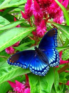 Winged Beauties - Blue Butterfly