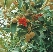 Kiggelaria Africana Wild Peach