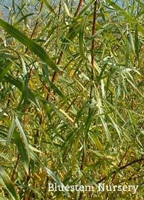 Salix interior - Long Leaf Willow, Sandbar Willow - excellent for living willow structures and basketry