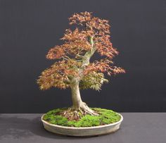 Image from http://www.bonsai4me.com/Images/BasicsStylingForms/bonsai%20forms%20(20).jpg.