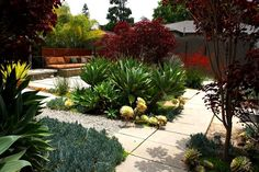 Los Angeles designer Jay Griffith frames the seating areas of a backyard with big stands of blue-green Agave attenuata, striped aeonium, Mexican blue palm and oxblood red Euphorbia cotinifolia. The plants set up a soft structural division of space that contrasts nicely with the hard edges of the pavers.