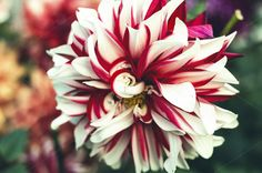Check out Pretty Red-White Flower by Shots By RC on Creative Market