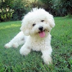 I love Bichon Frises! They have hypo-allergenic fur, are very smart, annnnd...THEY LOOK LIKE THIS! So cute!