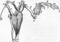 bird Muscle Anatomy   Fig. 355. Wing of Bird.