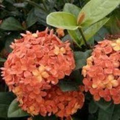Ixora - Maui Red (Ixora coccinia) Sarah's Garden, Garden Hedges, Hydrangea Garden, Garden Plants, Flower Plants, Planting Flowers, Garden Ideas, Florida Decorating, Tropical Plants