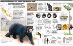 Oso silvestre del Perú: Una especie que debemos salvar