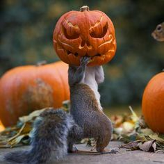 """Squirrel with pumkin mask, """"Ahcha!"""" - The squirrel on the pumpkin, """"Dude, that aint' scarin' nobody."""" Photo at MaxPhotographic.com"""