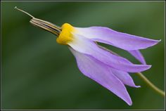 Detail of Shooting-Star: Dodecatheon sp. [Family: Primulaceae] - Flickr - Photo Sharing!