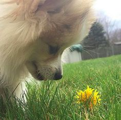 A dog discovering flowers for the very first time, thinking it's the greatest thing in the world.