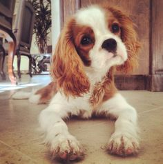 Dear Mom, Today I played in the mud. Cavalier King Charles Blenheim, King Charles Spaniel, Cute Puppies, Cute Dogs, Baby Animals, Cute Animals, Spaniel Puppies, I Love Dogs, Animal Pictures