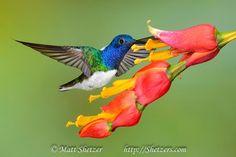 White necked jacobin hummingbird