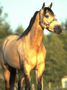 wild buckskin colored horses running free - Ask.com Image Search