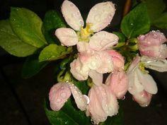 flor del manzano enano