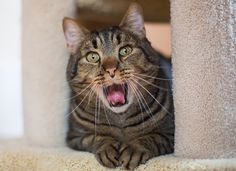 Cat Yawns, Mark Rogers Pet Photography