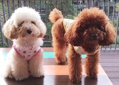 My poodles ❤️