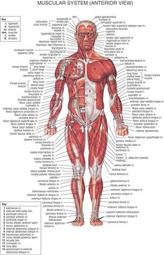 www.kenfuderyu.co.za images gym Body%20Systems Muscular_System_Front.jpg