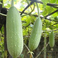 25+ Luffa Sponge Gourd Vegetable Seeds , Under The Sun Seeds