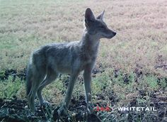 Calling coyotes not only provides the opportunity to keep predator numbers in check, it also offers exciting and unforgettable experiences. Coyote Hunting Gear, Hunting Guide, Predator Hunting, Moose Hunting, Deer Hunting Tips, Hunting Stuff, Quail Hunting, Coyote Facts, Coyote Trapping