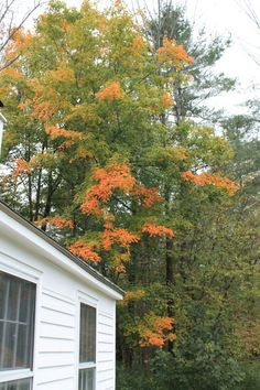 Our trees were slowly turning.  Arlington, Vermont, September 29, 2012