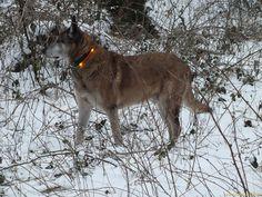 Leuchthasband LEUCHTIE Plus für Hunde in orange // LED light collar LEUCHTIE Plus for dogs in orange