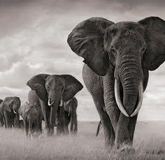 Beautiful, inspiring story!The Elephant Whisperer  written by Rob Kirby  Author legendary conservationist Lawrence Anthony died March 2.His family tells of a solemn procession of Elephants that defies human explanation.  For 12 hours, 2herds wild South African elephants slowly made their way through the Zululand bush until they reached the house of late author Lawrence Anthonywho saved their lives.The formerly violent, rogue elephants,destined to be shot as pests rescued rehabilitated by…