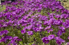 Aubrieta hybrida 'Glacier Lilac' - tařička