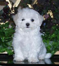 Cute White Maltese Puppy Photo                                                                                                                                                                                 More