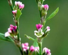 Pihatatar, Polygonum aviculare Forest Flowers, Wild Flowers, Fungi, Weed, Beautiful Flowers, Natural Beauty, Flora, Pure Products, Plants