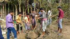 Live tree excavation and transplantation at Kulpi Unit of Green Mall, Demonstration by Dinesh Rawat.