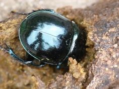 Dor Beetle: recycling for all | Nature Notes