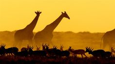 See a photo of a giraffes walking among gazelles in Namibia, from National Geographic. Giraffe Pictures, Book Of Job, African Sunset, Environment Concept, Dancing In The Rain, African Animals, National Geographic Photos, Pet Birds, Cool Photos