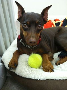 Miss Layla with her ball. She is a 2 yr old chocolate minpin