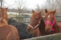 Some of the horses rescued (Harrisburg Humane Society, WHP-TV)