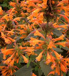 Buy Agastache 'Kudos Mandarine' from Sarah Raven: Pretty, aromatic & long-flowering, this delicate-looking, quick-growing agastache (or hyssop) is one of our favourite container perennials. Flowers first year Long Flowers, Orange Flowers, Orange Color, Beautiful Flowers, Biennial Plants, Plant Delivery, Garden Drawing, Border Plants, Summer Plants