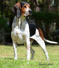 Sabueso Fino Colombiano 18 to 22 inches 44 to 60 pounds Hound Dog, Hunting Dogs, Cattle, Best Dogs, Dog Breeds, Ideas Para, Animals, Types Of Dogs, Animals And Pets