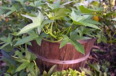 Sweet potatoes LOVE growing in bushel baskets. Great drainage, no weeds and they look great too.