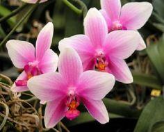 Phalaenopsis Hitomi Watanabe 'No.15' Hybrid Orchid Plant [PHAL045]