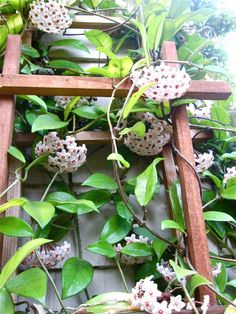 hoya carnosa. I love these amazing waxy flower heads, hanging heavily down all over the vine which is growing ever higher.