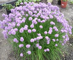 Chives care and maintenance