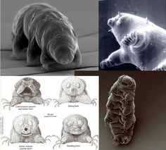 Water Bear, a. Moss Piglet Apparently the Tardigrade is one tough little motherfucker. Weird Science, Science Fair, Tardigrade, Microscopic Photography, Pond Life, Medical Illustration, Animals Of The World, Sea Creatures, Creepy
