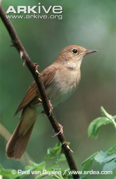 Although rather indistinct in appearance, the common nightingale (Luscinia megarhynchos) is greatly admired for its beautiful melodic songs, which are considered by some to be the finest produced...