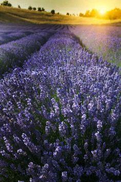 #lavender and sunshine...