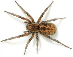 I will not even deal with spiders. My wife might think me less of a man but I absolutely hate them. I'm just glad they offer pest control services to get rid of them. I can't stay having spiders in my house. Common Spiders, Types Of Spiders, Spiders And Snakes, Spiders In Australia, Killing Spiders, Spider Traps, Hobo Spider, Spider Identification, Scary Bugs