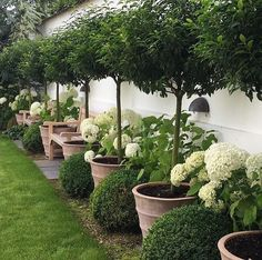Beautiful potted trees with white hydrangea and round boxwood garden border.