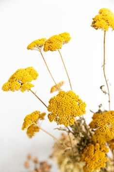 Yarrow always reminds me of my mother's garden. Donna Bouma Yarrow always reminds me of my mother's garden. Donna Bouma The post Yarrow always reminds me of my mother's garden. Donna Bouma appeared first on Easy flowers. Yellow Flowers, Beautiful Flowers, Mustard Flowers, Yellow Wildflowers, Exotic Flowers, Green Nature, Mellow Yellow, Mustard Yellow, Dried Flowers