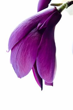 Purple | Porpora | Pourpre | Morado | Lilla | 紫 | Roxo | Colour | Texture | Pattern | Style | Form | Magnolia