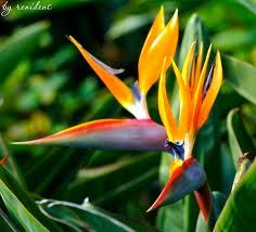 Strelitzias - tropical plants that grow in cooler climate