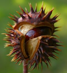Memories of the Chestnut Tree in our backyard. The nut was fantastic but the getting to it ... ouch.