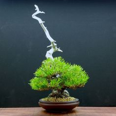 "234 Likes, 1 Comments - Miyazato Rintaro (@bonsai_labo_rin_osaka_japan) on Instagram: ""#黒松 #blackpine #小品盆栽 #盆栽 #bonsai #shohin #mame #bonsailabo凜 #moss #osaka #大阪 #心斎橋 #shinsaibashi…"""